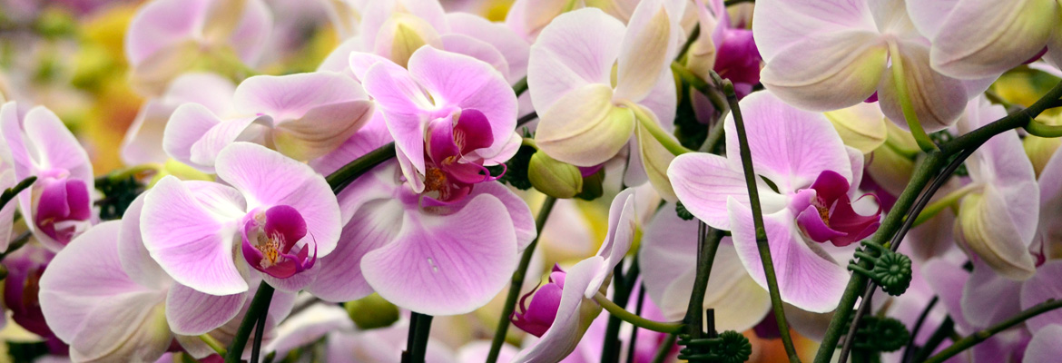 pure-beauty-orchids-plainview-growers-flowers