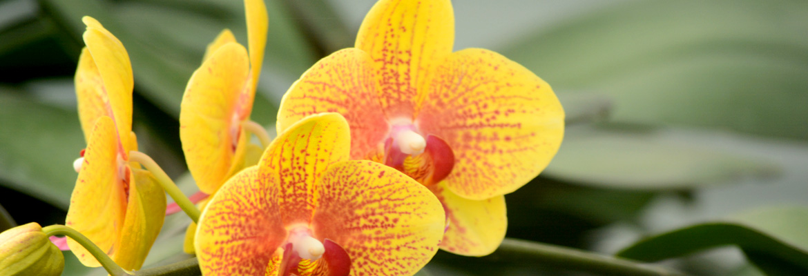 pure-beauty-orchids-plainview-growers-pompton-plains-new-jersey-micro-mini-yellow