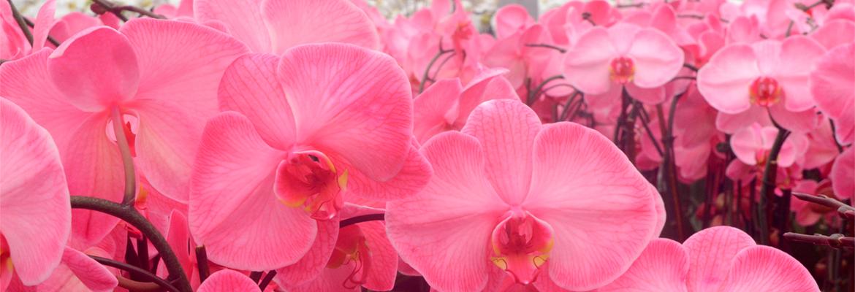 pure-beauty-orchids-pink-lemonade-colorfuze-plainview-growers-1-800-flowers