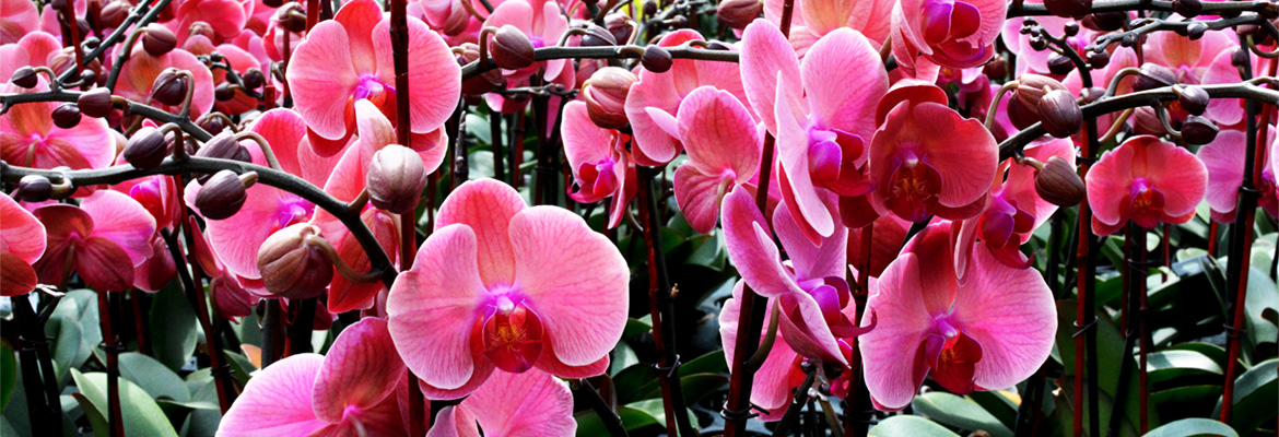 caring-for-your-pure-beauty-orchid-from-plainview-growers