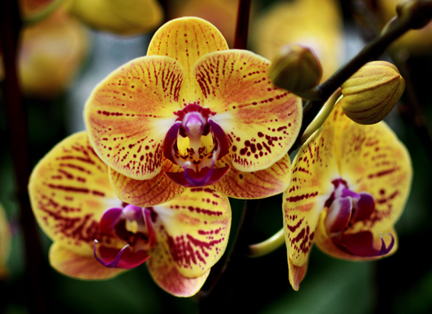pure-beauty-orchid-colors-and-their-meaning-history-flowers-plainview-growers-02