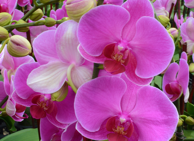 pure-beauty-orchid-colors-and-their-meaning-history-flowers-plainview-growers-03