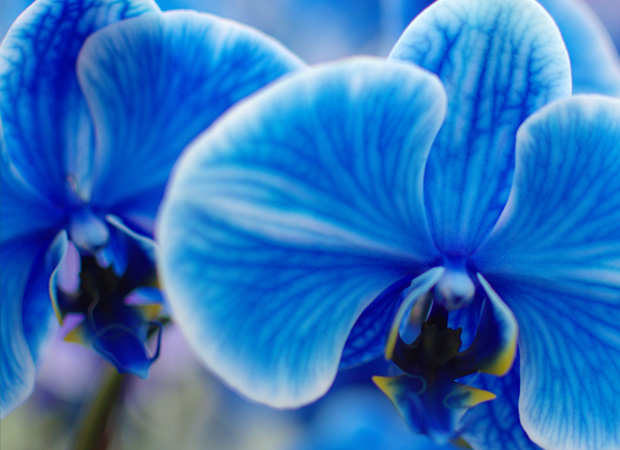 The amazing true history of orchids and what their colors represent pure beauty orchid colors and their meaning history mightylinksfo