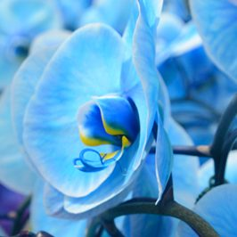 plainview-pure-blue-diamond-orchids