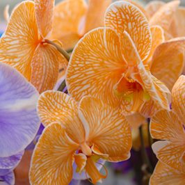 plainview-pure-orange-orchids