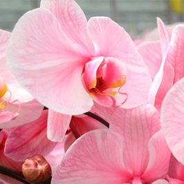 plainview-pure-pink-lemonade-orchids