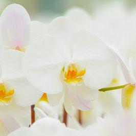 plainview-pure-white-orchids