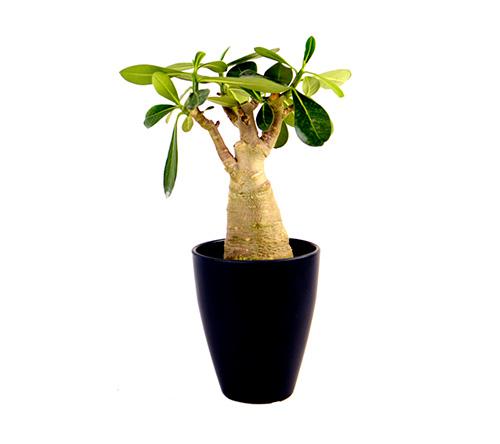 easycare-adenium-arabicum-succulents-plainview-growers-eco-friendly-plants