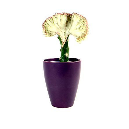 euphorbia-lactea-easycare-sustainable-plants-02