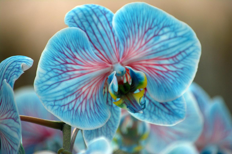 colorfuze-orchids-cool-peppermint-plainview-pure-flowers-1-800-flowers-van-vugt