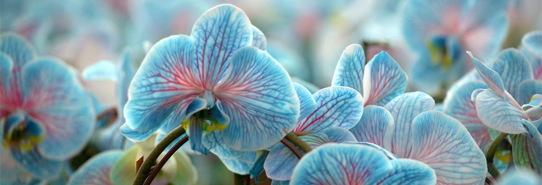 colorfuze-orchids-cool-peppermint-plainview-pure-flowers-1-800-flowers