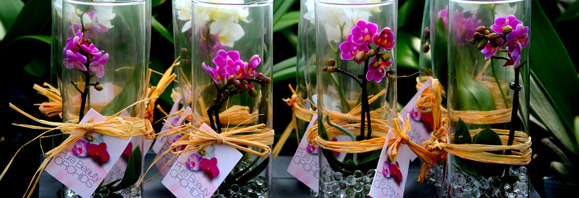 pure-beauty-orchids-mini-plainview-growers-new-jersey-greenhouse-1-800-flowers