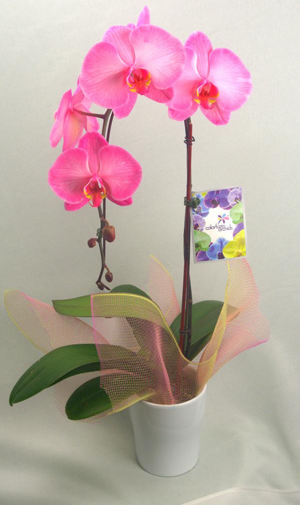 pure-beauty-orchids-pink-lemonade-orchid-colorfuze-plainview-growers-1-800-flowers
