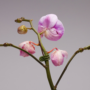 caring-for-your-pure-beauty-orchid-from-plainview-growers-01