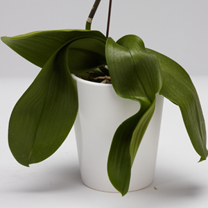 caring-for-your-pure-beauty-orchid-from-plainview-growers-02