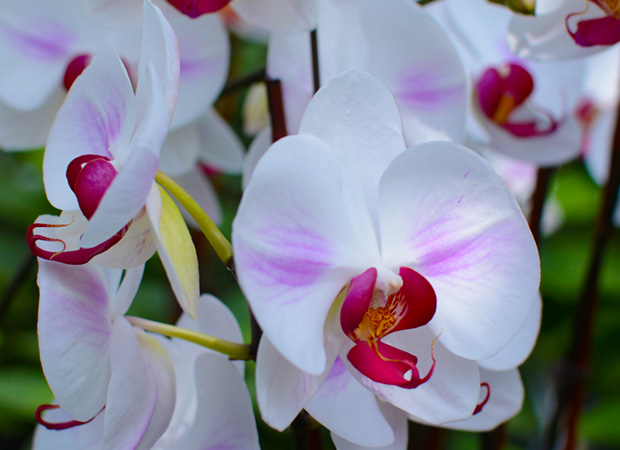 pure-beauty-orchid-colors-and-their-meaning-history-flowers-plainview-growers-04