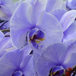 plainview-pure-lavender-orchids