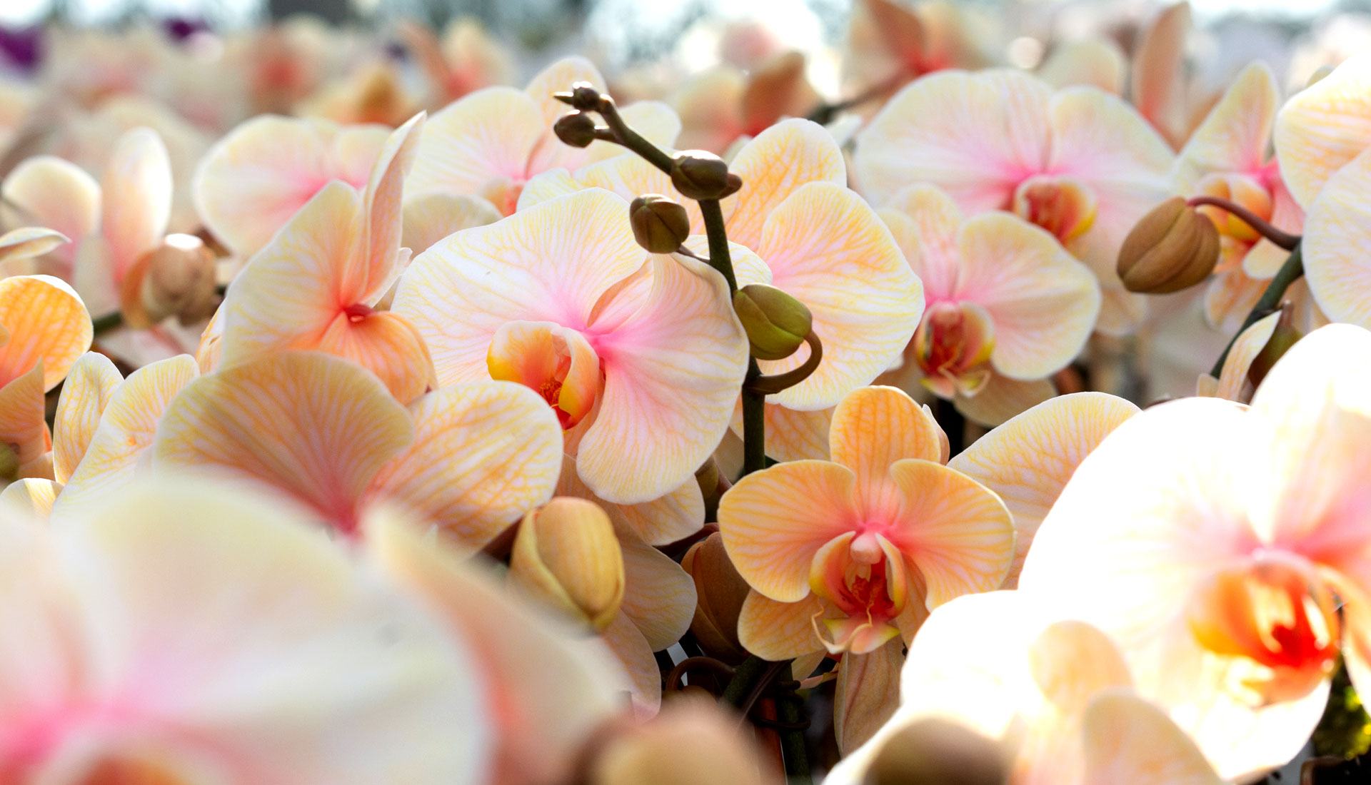 Our Stunning Premium Orchids