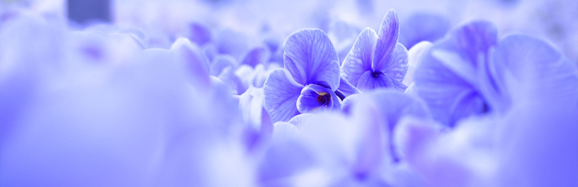 plainview-pure-lavender-myst-orchids