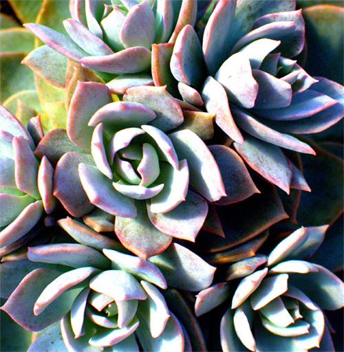 pure-succulents-plainview-growers