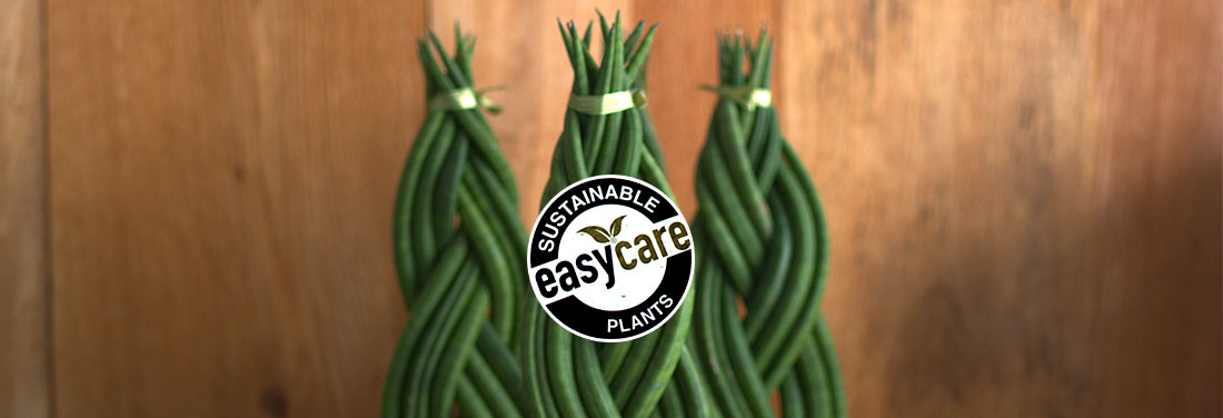 easycare-plants-sansevieria-plainview-growers