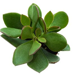 CRASSULA-MINOVA-WOODS-MAGIC-SUCCULENT