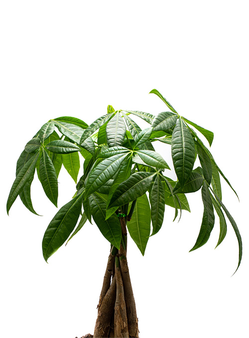pachira-braid-moneytree-plainview-pure-01